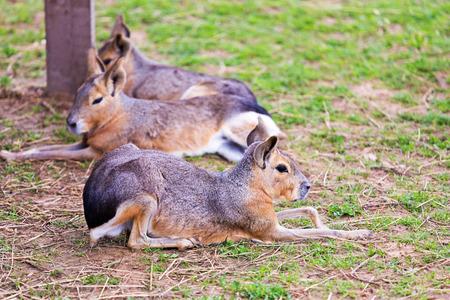 patagonian: Group Patagonian Mara lying on the grass