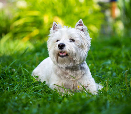 terriers: West Highland White Terrier lies in green grass
