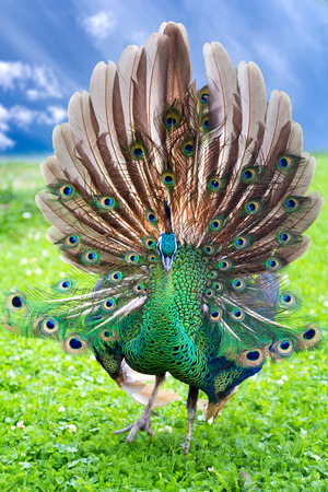 Portrait of young peacock with open tail photo