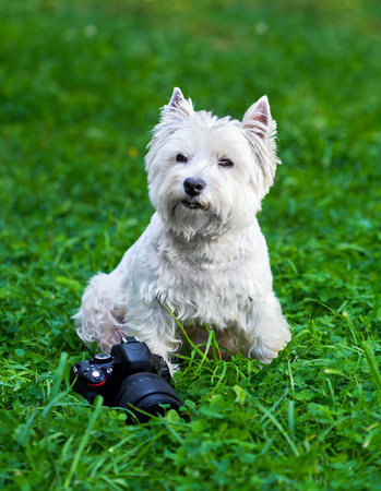 cute westie: West Highland White Terrier lies in green grass and camera