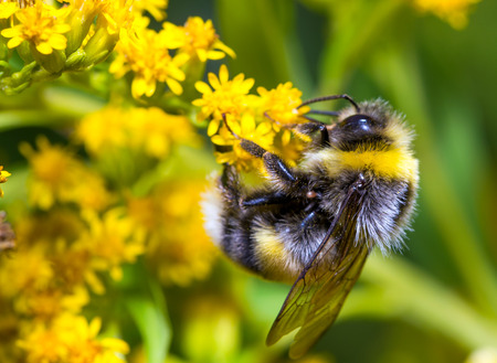 bumble bee: Bumblebee (Bombus pascuorum) on a yellow flower
