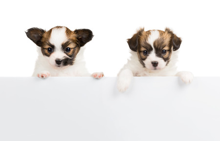 relies: Two Papillon puppy, 1 month old, relies on blank banner. White background