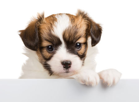 Cute Papillon puppy age of one month relies on blank banner. White background photo