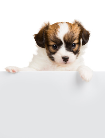 Papillon puppy age of one month relies on blank banner. White background photo