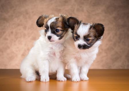 fondo cafe: Dos Papillon cachorros edad de un mes y medio en un fondo marr�n Foto de archivo