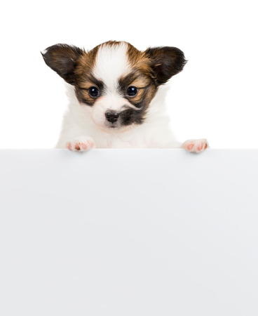 Papillon puppy, 1 month old, relies on blank banner. White background photo