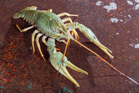 One live crayfish on a metal surface photo