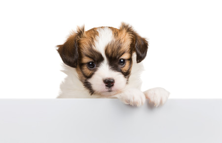 relies: Cute Papillon puppy age of one month relies on blank banner. White background Stock Photo