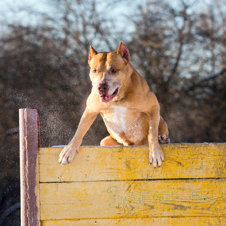 jumping fence: Raza del perro de American Pit Bull Terrier salta sobre cañizo