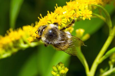 bombus: Bumblebee (Bombus pascuorum) on a yellow flower