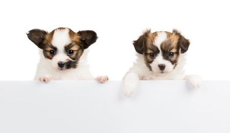 Two Papillon puppy, 1 month old, relies on blank banner. White background photo