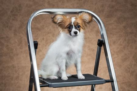 fondo cafe: Papillon puppy sentado en una escalera de mano. Fondo de Brown Foto de archivo
