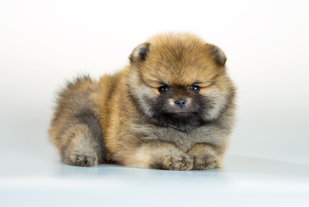age 5: Portrait of a Pomeranian puppy age of 1,5 month over white background