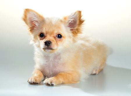 long haired: Portrait of puppy Chihuahua on a white background