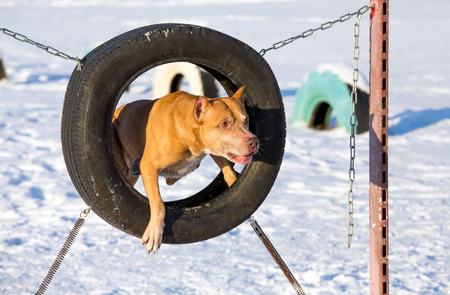 bull terrier: American Pit Bull Terrier at site for dogs jumping through a tire Stock Photo