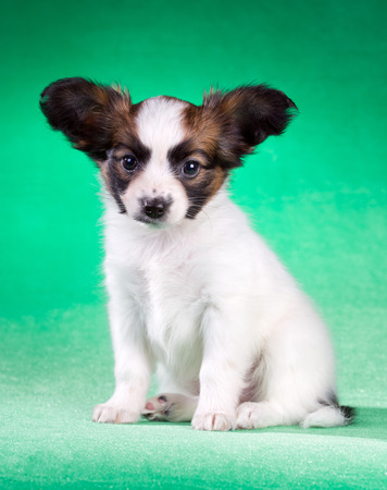 age 5: Cute Papillon puppy age of 1,5 month on a green background