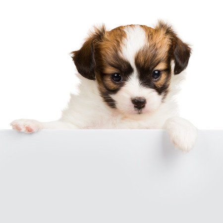 relies: Papillon puppy age of one month relies on blank banner. White background Stock Photo