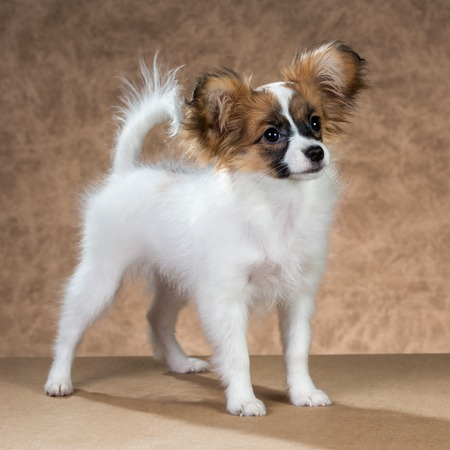 four month: Cute Papillon puppy age of four month on a brown background