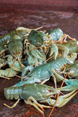 Heap live crayfish on a metal surface photo
