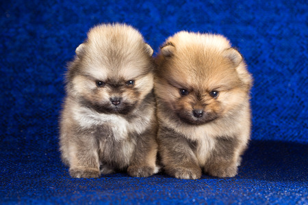 age 5: Portrait of a two Pomeranian puppies age of 1,5 month over blue background