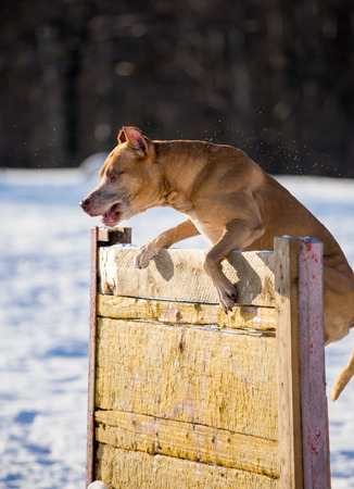 hurdle: Dog breed American Pit Bull Terrier jumps over hurdle Stock Photo