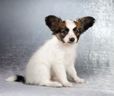 age 5: Cute Papillon puppy age of 1,5 month on a silvery background