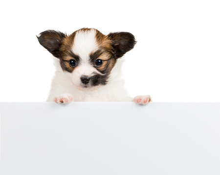 relies: Papillon puppy, 1 month old, relies on blank banner. White background Stock Photo