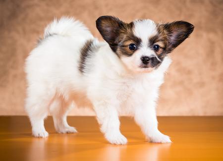 fondo cafe: Lindo edad cachorro Papillon de un a�o y medio meses en un fondo marr�n