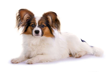 Young papillon isolated on a white background Stock Photo