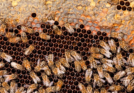 Insects bee working on honeycomb closeup view photo