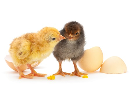 poultry farm: Two newborn chicken with egg shell on white Stock Photo