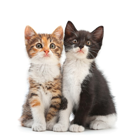 kitten small white: Two kitten sitting isolated on white