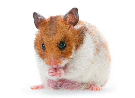 Red and white hamster isolated on white Stock Photo