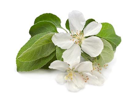fiore isolato: Mela primo piano del foglio con il fiore isolato su bianco Archivio Fotografico