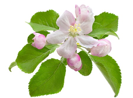 Blossom apple with leaf isolated Stock Photo