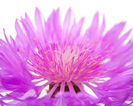 field of flower: Purple field flower closeup on white