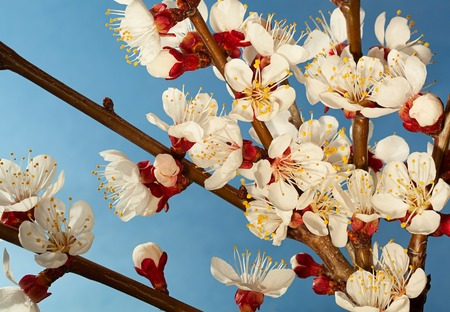 apricot tree: Apricot tree blossom flower on blue background