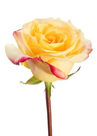 rosas amarillas: El amarillo se levantó el primer aislado en el fondo
