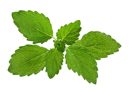 melissa: Lemon melissa leaf closeup isolated on white