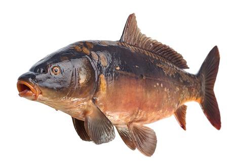 mirror carp: Mirror carp river fish isolated on white Stock Photo