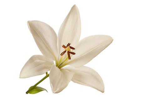 flor de lis: Blanca cabeza de la flor del lirio primer aislado