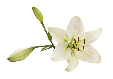 lirio blanco: Blanca cabeza de la flor del lirio primer aislado