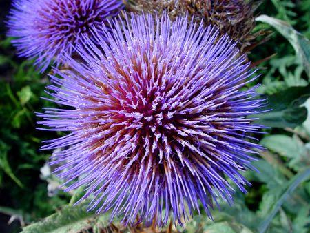 largely: Violet flower