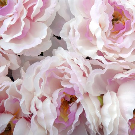 extensively: The peony or paeony (Paeonia) is the sole genus in the flowering plant family Paeoniaceae. They are native to Asia, southern Europe and western North America. Peonies are also extensively grown as ornamental plants for their very large, often scented flow Stock Photo
