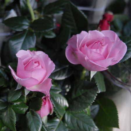 referred: Pink roses (fam. Rosaceae). The ancient Greeks and Romans identified the rose with their goddesses of love referred to as Aphrodite and Venus. Roses are ancient symbols of love and beauty. The rose was sacred to a number of goddesses (including Isis and A