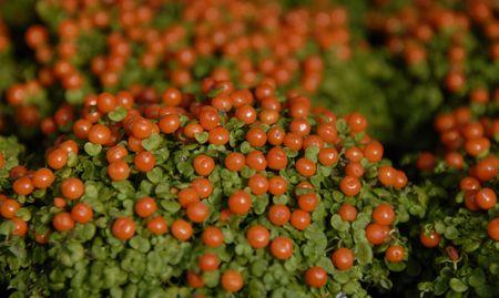Coral Bead Plant (Nertera granadensis) Stock Photo - 855746