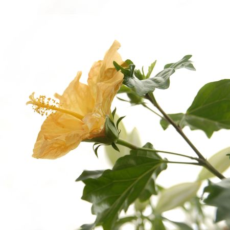 plants species: Hibiscus or Rosemallow is a large genus of about 200-220 species of flowering plants in the family Malvaceae, native to warm temperate, subtropical and tropical regions throughout the world. The genus includes both annual and perennial herbaceous plants,  Stock Photo