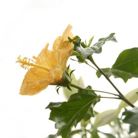 plants species: Ibisco o Rosemallow � un genere di grandi dimensioni di circa 200-220 specie di piante fiorite in famiglia Malvaceae, nativo a caldo temperato, subtropicali e tropicali regioni di tutto il mondo. Il genere comprende sia annuali e perenni piante erbacee,