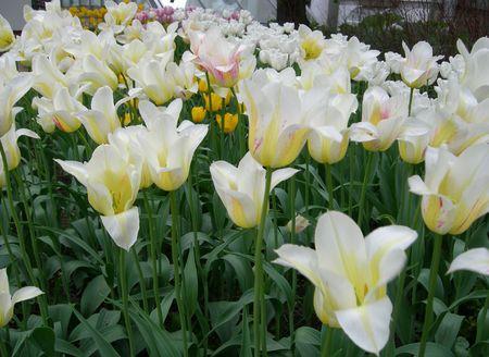 Tulipa Stock Photo - 1000599