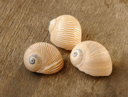 mollusca: Tanea lineata (Roding, P.F., 1798), syn. Natica lineata.Also known, as Lined Sand Snail. Lives: N Indian Ocean - Japan & W Australia.